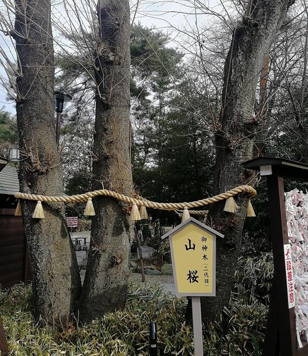 櫻木神社(桜木神社)の御神木